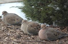 Doves are amazing.