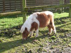 Un poney nain a rejoint la ferme pédagogique du zoo de Fort-Mardyck