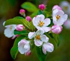 Apple Blossoms - Hope and Good Fortune