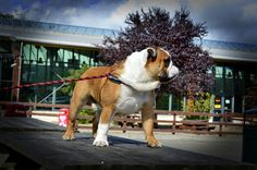 Chumlee at Courtown Adventure Centre today Adventure Center, Sully, New Puppy, Centre, Champion, Puppies, Dogs, Pictures, Animals