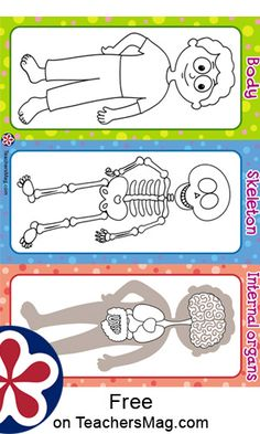 Worksheets For Learning About Our Bones and Organs | TeachersMag.com Human Body Science, Human Body Activities, Human Body Unit, Human Body Systems, Body Preschool, Preschool Learning Activities, Preschool Activities, Educational Activities, Activities For Kids