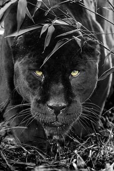 So…Stunning Black Panther… Wow …. so … stunning black panther … Big Cats, Cool Cats, Cats And Kittens, Nature Animals, Animals And Pets, Cute Animals, Wild Animals, Baby Animals, Beautiful Cats