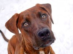 SAFE 03/09/15 --- SUPER URGENT - 03/09/15 Manhattan Center   My name is LONDON. My Animal ID # is A1028932. I am a female br brindle and bl brindle plott hound mix. The shelter thinks I am about 11 MONTHS old.  I came in the shelter as a STRAY on 02/26/2015 from NY 10029, owner surrender reason stated was STRAY.    https://www.facebook.com/photo.php?fbid=971565446189668