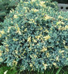 Borievka šupinatá / Juniperus squamata ´FLORIANT´