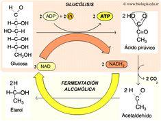 reaccion quimica de la fermentacion