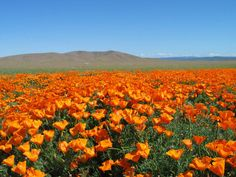 Field of flowers Orange Flowers, Red Poppies, Jesus Music, Remembrance Poppy, Flanders Field, Nature Animals, Flower Power, Images, In This Moment