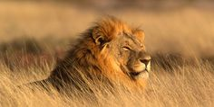 THE KING OF THE JUNGLE----Enjoying the evening breeze