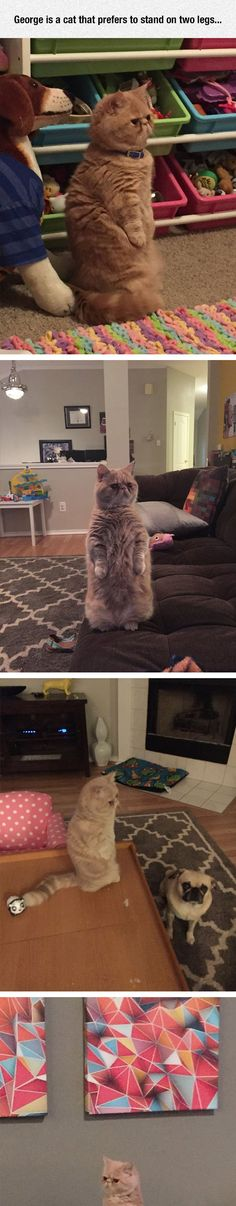 The Standing Cat  Cat memes - kitty cat humor funny joke gato chat captions feline laugh photo