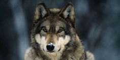 petition: Stop Wildlife Services' Brutal War on Wolves
