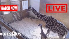 Live Feed:Giraffe | Animal Adventure Park Giraffe - April the giraffe Li...
