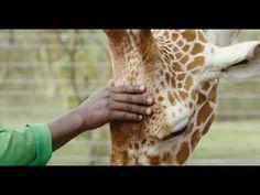 Kiko: Rescued orphan giraffe loving life in Sirikoi - YouTube Orphan, Giraffe, Youtube, Life, Kenya, Felt Giraffe, Giraffes, Youtubers, Youtube Movies