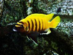 """Metriaclima sp. """"Zebra Gold"""" Kawanga                                                                                                                                                                                 More"""