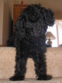 """Mimi. Miniature Poodle. My wife's (Pepper) childhood dog. Had a mixed  litter of poodles and, Terri-poos. Mimi was registered, and her mate was, """"from a good neighborhood. Gave birth to our, Antigone (""""Tig,"""") the day we bought the diamond for Pep's engagement ring."""