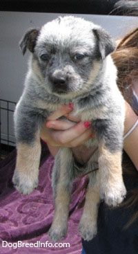 Australian Cattle Dog Pictures and Photos, 5
