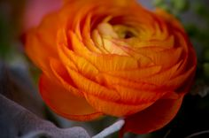 ranunculus by tina jeffers