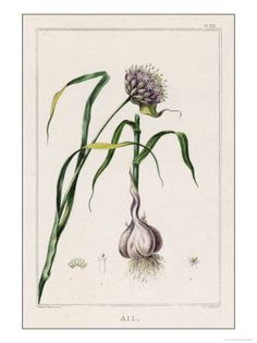 Tattoo inspiration. Garlic flower with bulb.