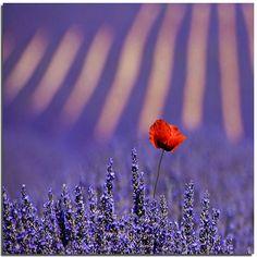A single poppy growing in a field of lavender.