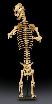Prehistoric Ice Age cave bear skeleton, species rom the species Ursus spelaeus. Prehistoric artifacts for sale at M. Rau Antiques, New Orleans Rick Owens, African Art For Sale, Evolution, Cave Bear, African Artwork, Art Nouveau, Dinosaur Fossils, Gothic, Extinct Animals
