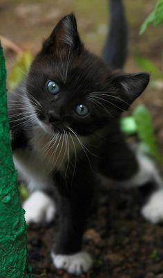 Awh xxx. I have a little tuxedo cat. She was such a cute kitten like this little one here. She is a pretty adult kitty now