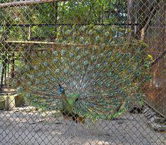 Merak Bird