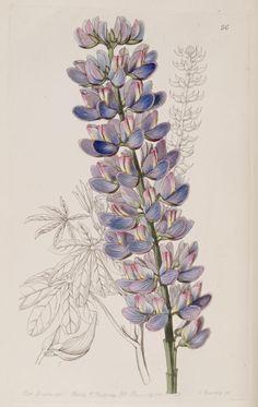 Lupiin. v. 25 (1839) - Edwards's botanical register. - Biodiversity Heritage Library