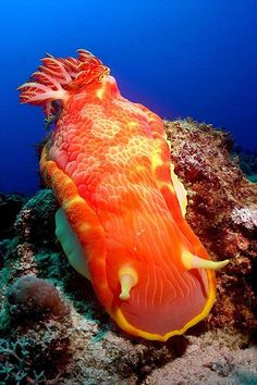 The spanish dancer is a very large & colorful nudibranch or sea slug. Photo by Scialom Scialom Scialom Scialom Scialom Scialom Gries Under The Water, Life Under The Sea, Under The Ocean, Sea And Ocean, Underwater Creatures, Underwater Life, Ocean Creatures, Beautiful Sea Creatures, Sea Slug
