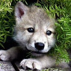 Awww so cute. Wolf pup