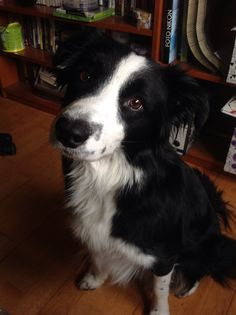 Border Collie, beautiful