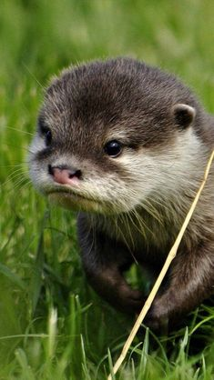 The cutest baby otter Cute Funny Animals, Cute Baby Animals, Animals And Pets, Wild Animals, Otters Cute, Baby Otters, Tier Fotos, Cute Animal Pictures, Cute Creatures