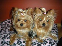 Kallie and Kassie our sweet little Yorkies