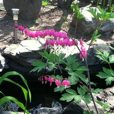 Bleeding hearts in our garden! Shade plant & humming birds LOVE it!!!