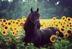 Friesian stallion lying in a field of Sunflowers. Photo taken in Indiana, stallion owned by Emily Jewell of Grace and Beauty Farms. (photography by Larissa Allen)