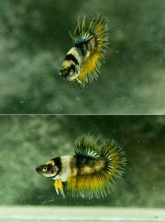 Tiger Stripe Plakat Crowntail