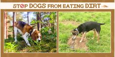 How to stop dogs from eating dirt. #doghabbits #dogcare #dogtraining #lovedog