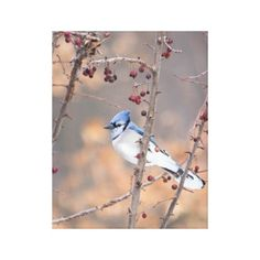 Blue Jay Nature Photography Bird Canvas