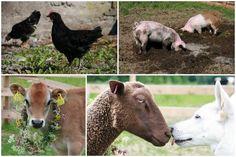 Goats, Safari, Cow, Animals, Animales, Animaux, Cattle, Animal, Animais