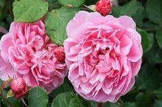 Najgroźniejsze choroby róż - przegląd, objawy i zwalczanie