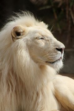 ~~Satisfactions   Male White Lion   by maresa~~