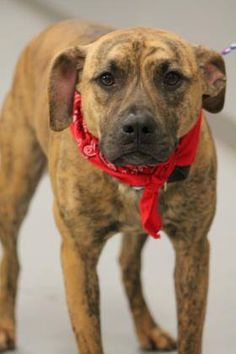 ADOPTED>NAME: Tiger  ANIMAL ID: 30169083  BREED: Pit mix  SEX: male (neutered)  EST. AGE: 2 yr  Est Weight: 46 lbs  Health: heartworm neg  Temperament: dog friendly, people friendly  ADDITIONAL INFO: RESCUE PULL FEE: $49  Intake date: 2/13  Available: 2/21