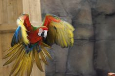 flying macaw !