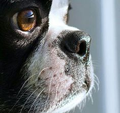 This is the little face that brings me much joy every hour of every day...  nothing like the love of a Boston Terrier ♡