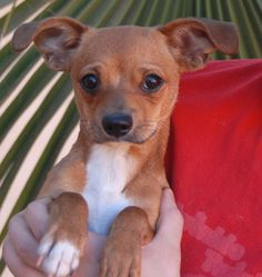 Mary Ann is a gentle baby girl who needs a loving, forever home.  She is a Chihuahua mix puppy, 6 months of age and spayed, debuting for adoption today at Nevada SPCA (www.nevadaspca.org).  Mary Ann enjoys other dogs and likely will do best in a home with a big sister or brother dog to help her adjust.  She was at another shelter that asked for our help due to her timidity.