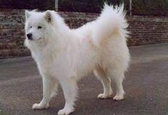 Ok no es una cosa, pero me gustan mucho los perros Samoyedo