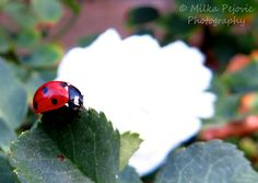 Red ladybug crawling on rose tree leaves with a white rose in the background