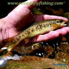 Cávado Fly Fishing Trout fishing is, in Portuguese, apaixonante. Trout Fishing, Fly Fishing, Brown Trout, Visit Portugal, Portuguese, Unique, Beautiful, Trout, Fly Tying
