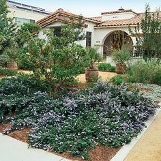 Ceanothus 'Yankee Point' - Drought Tolerant Front Yard Lanscaping - Sunset