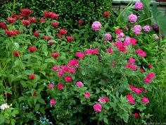 Find This Pin And More On Roses For Partial Shade