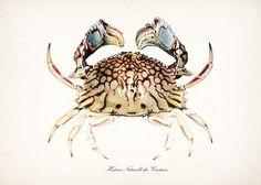 Small Crab Print  Box Crab  Natural History by vintagebytheshore, $14.00
