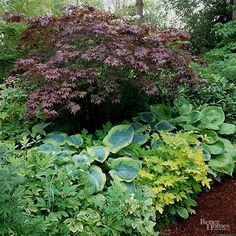 Sprinkle your shade garden with a few stunning plant combinations to act as focal points. Here, a Japanese maple is a perfect companion for a couple of types of hosta and 'Gold Heart' bleeding heart. Test Garden Tip: Hostas usually… Continue Reading → Patio Plan, Shade Garden Plants, Hosta Gardens, Fast Growing Trees, Colorful Plants, Woodland Garden, Foliage Plants, Garden Features, Gardening
