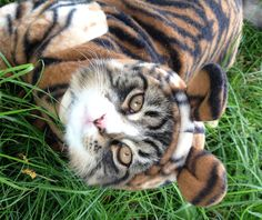 """A cat in grass is a tiger in the jungle."" --English Proverb"